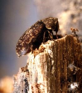 Tratamente impotriva insectelor si a ciupercilor, aplicate lemnului