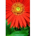Floare II (41 x 61 cm)