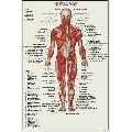 Sistemul Muscular - vedere posterioara (41 x 61 cm)