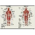 Sistemul Muscular (61 x 41 cm)