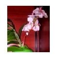 Orhidee T2-23B