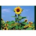 Floarea Soarelui (91 x 61 cm)