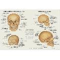 Craniul Uman (91 x 61 cm)