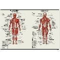 Sistemul Muscular (91 x 61 cm)