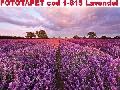 Fototapet KOMAR cod 1-615 Lavendel