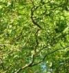 Salix 'Tortuosa'